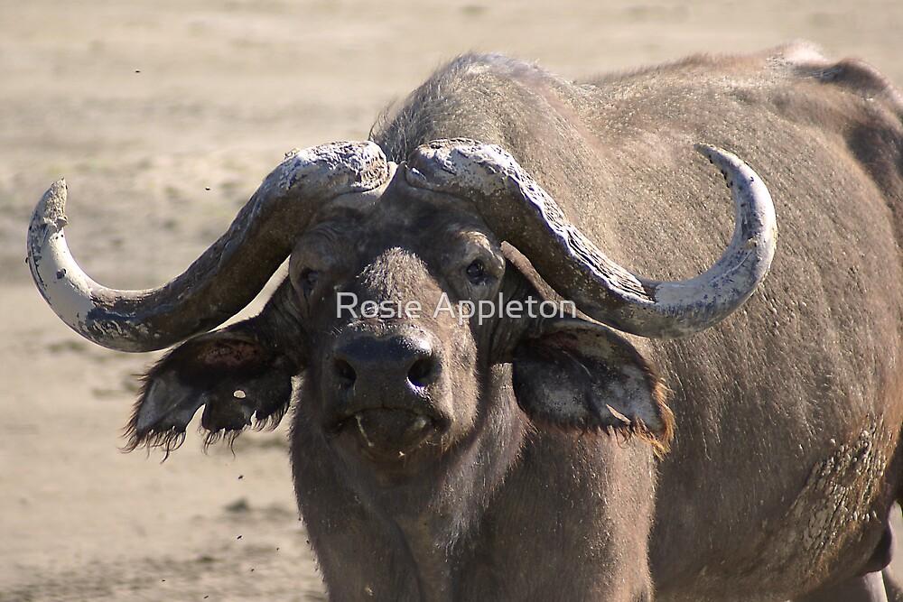 African Buffalo by Rosie Appleton