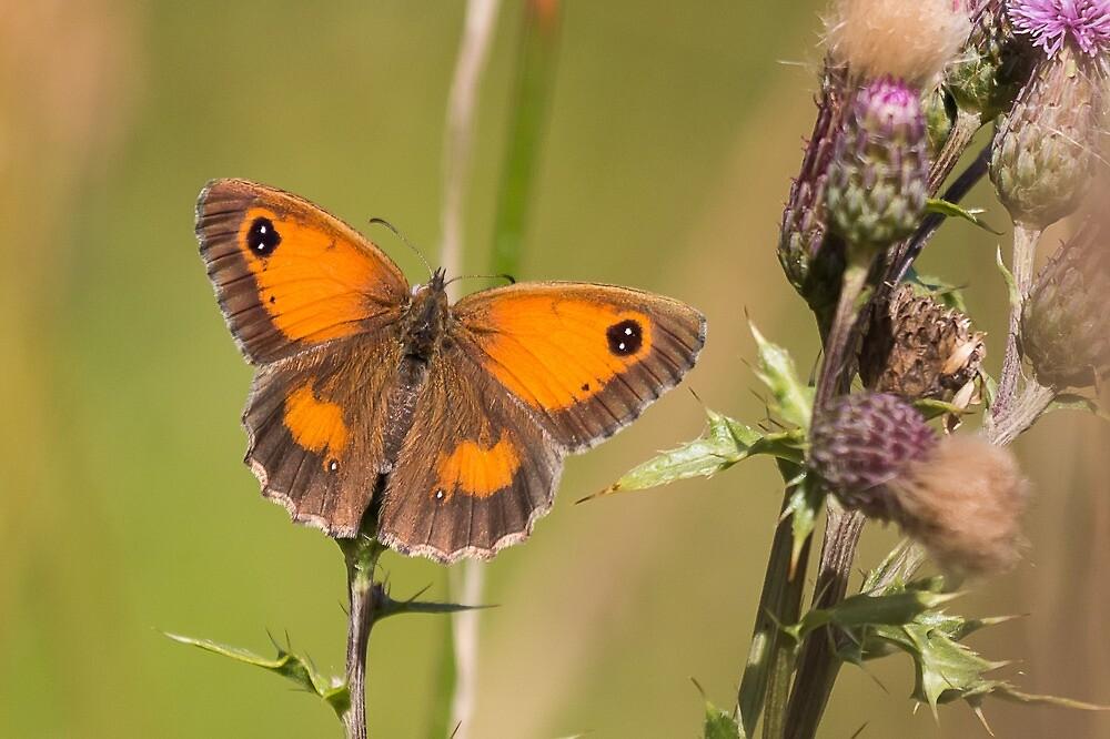 Gatekeeper Butterfly by FlyladyphotoBWC