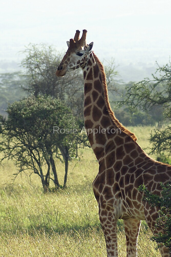 Rothschild Giraffe by Rosie Appleton