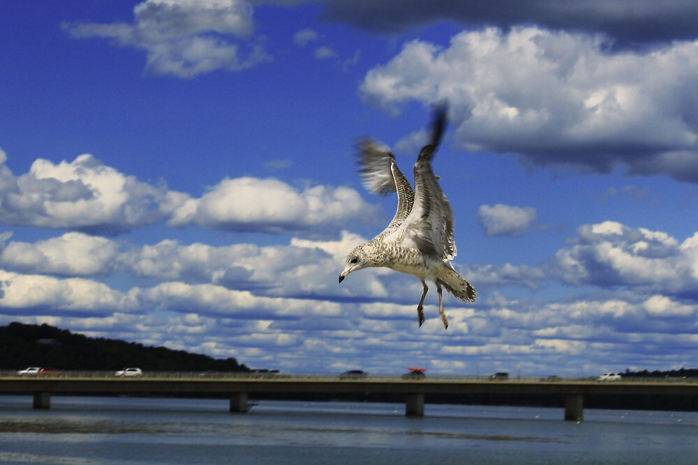 Flying Seagull by tcorey