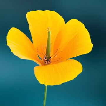Eschscholzia californica by JohnE