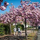Cherry Blossom Time in Büderich. by David A. L. Davies