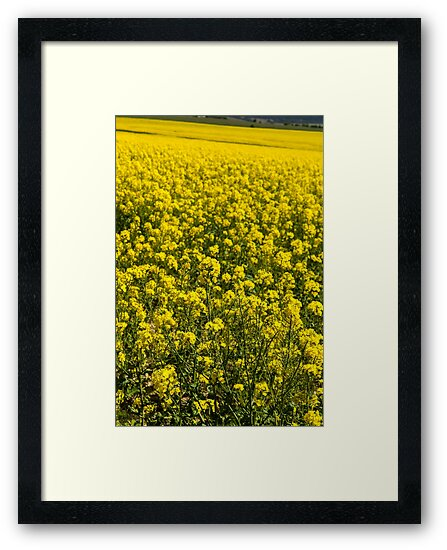Canola Fields New South Wales Australia. by DavidMay