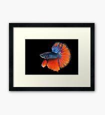 Fancy Siamese Fighting Fish Framed Print