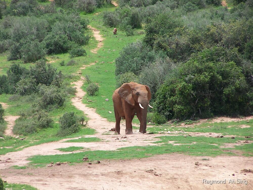 Elephant by Raymond  Ah Sing