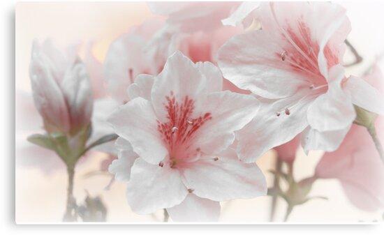 Azaleas - Pink by RaggedRose Photography