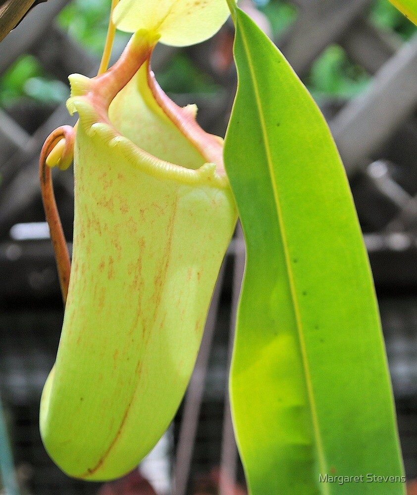 TRUMPET PITCHER PLANT by Margaret Stevens