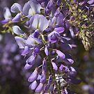 Beautiful Wisteria Spring Delight by Joy Watson