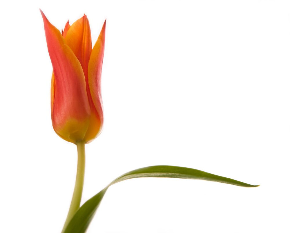 Lily Flowered Tulip by C5Photography