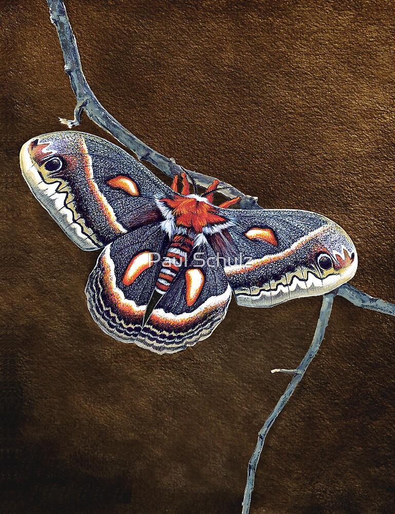 Cecropia Moth by Paul Schulz