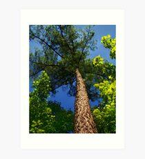 Tall Pine Art Print