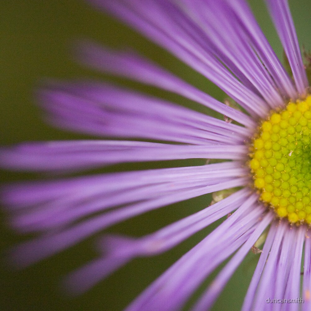Falkland Aster by duncansmith