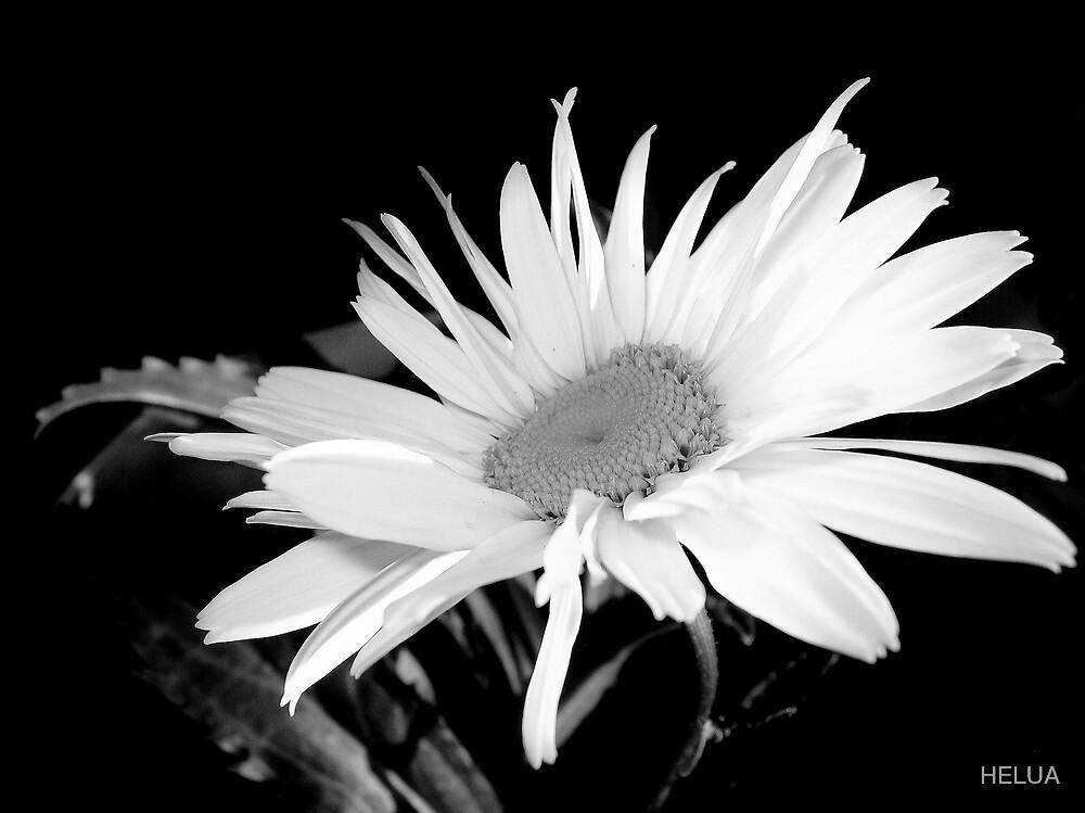 Daisy  by HELUA