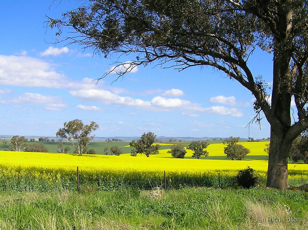 Canola in Full Bloom by Jan Richardson