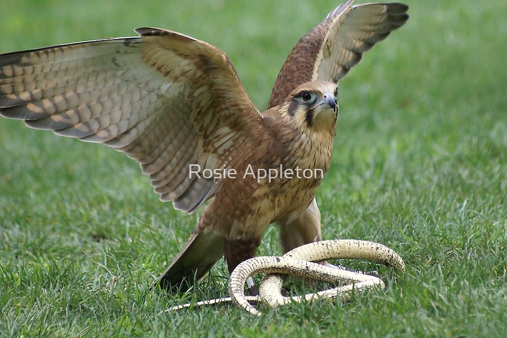 "Brown Falcon ""Falco berigora"" by Rosie Appleton"