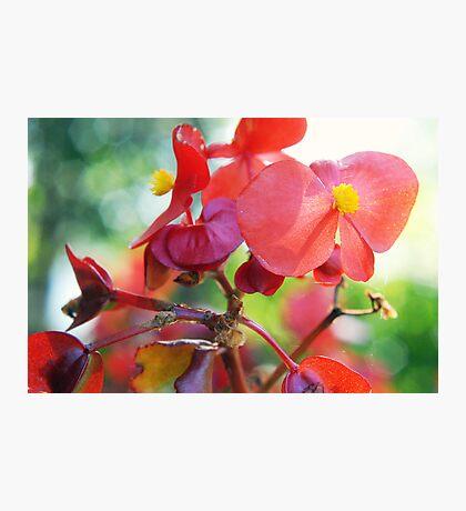 Begonias Photographic Print