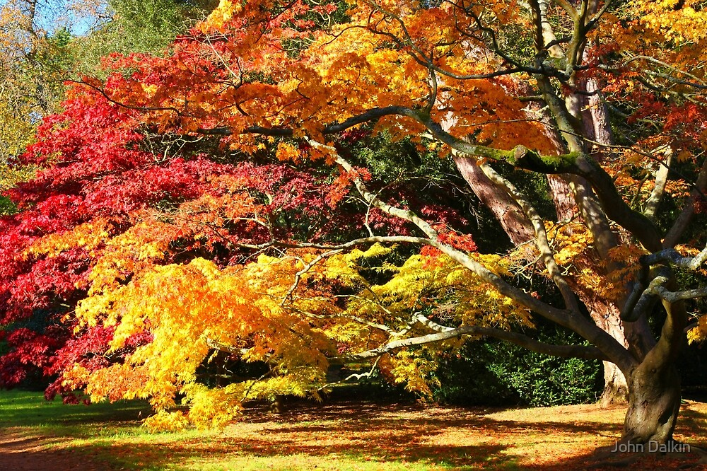 Autumn Acer Glade by John Dalkin