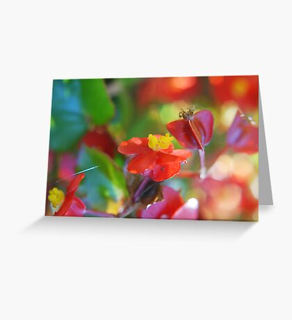Candy Begonias Greeting Card