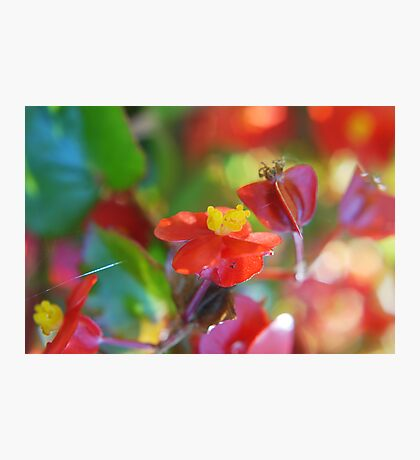 Candy Begonias Photographic Print