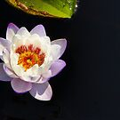 Sunlight Water Lily by Marilyn Cornwell
