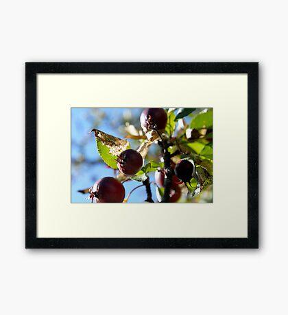 Apparently Apples Framed Print