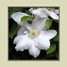White Clematis Flower in Pale Yellow Frame by toots