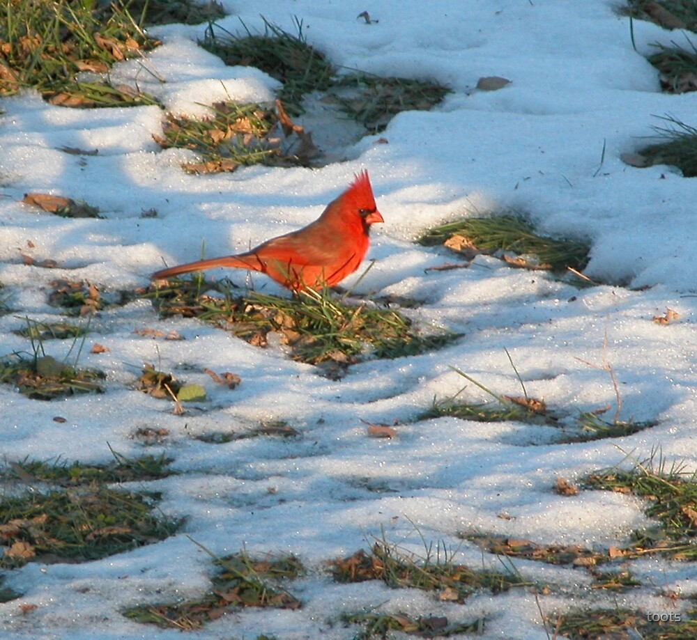 Red Bird in the Snow by toots