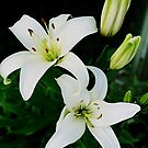 Easter Lilies by Stephen Thomas