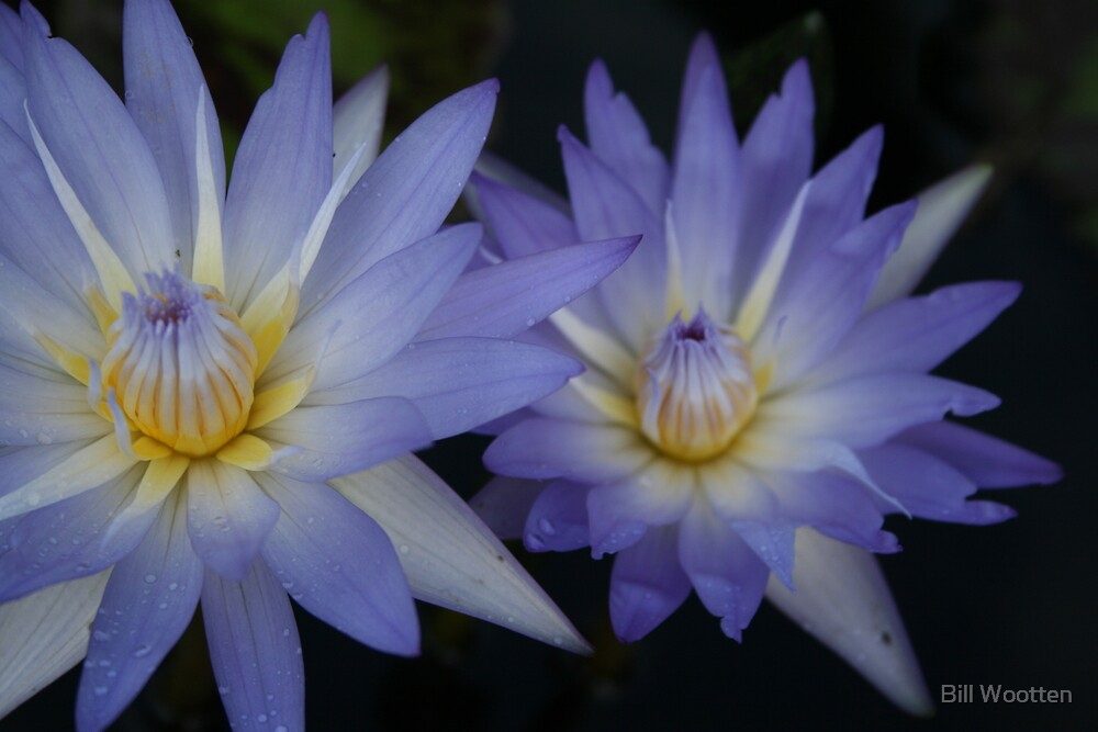 Tropical Water Lily @ the Missouri Botanical Garden by Bill Wootten
