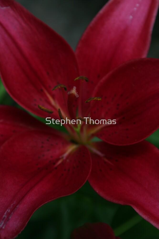 Dark Lily by Stephen Thomas