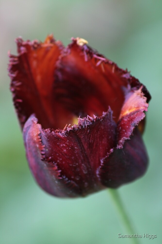 Tulip by Samantha Higgs