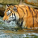 The Eye Of The Tiger - 1 by Colin  Williams Photography
