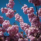 Cherry Blossom Time in MB-Büderich. by David A. L. Davies