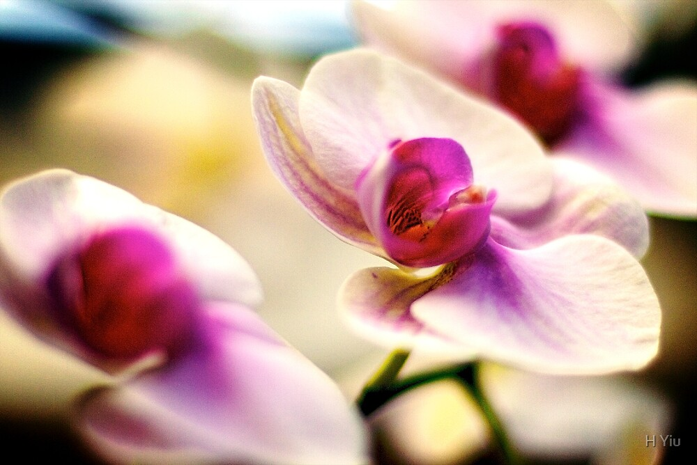 Pink Orchid by H Yiu