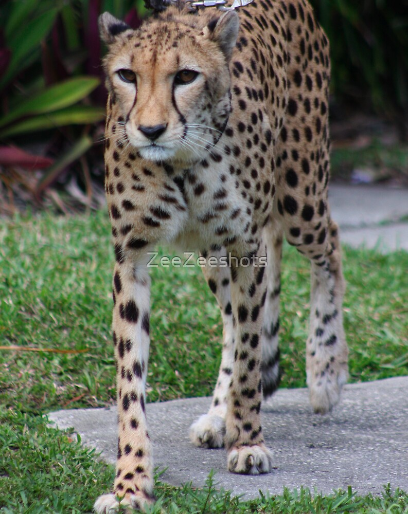 cheetah by ZeeZeeshots