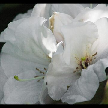 White Rhododendron by Ramace