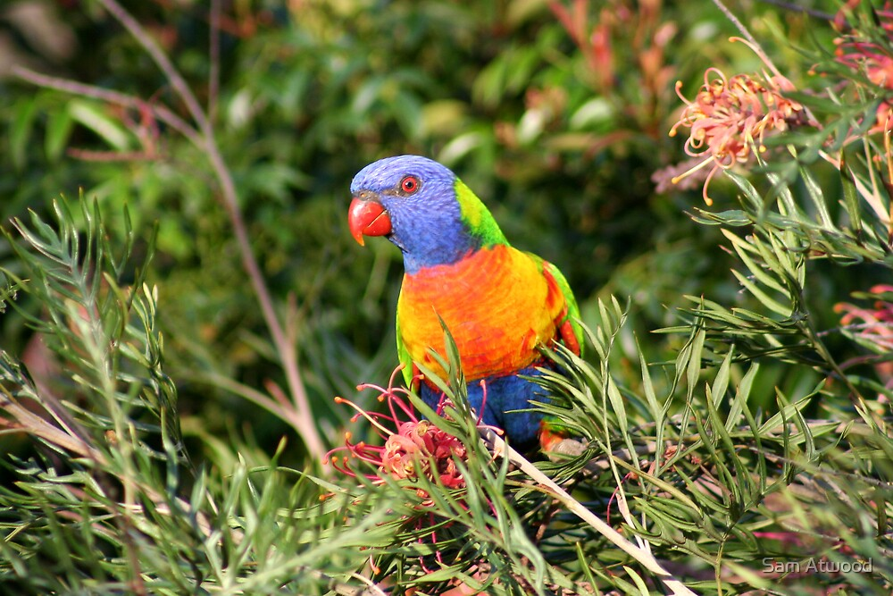 Lorikeet Model by Sam Atwood