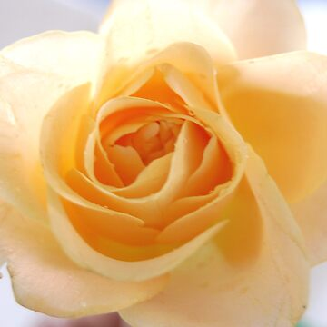 Peach Delight by divine9