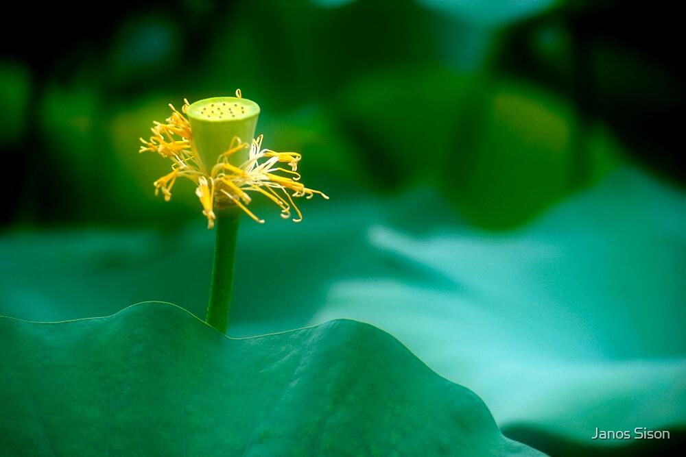 Lotus #49 by Janos Sison