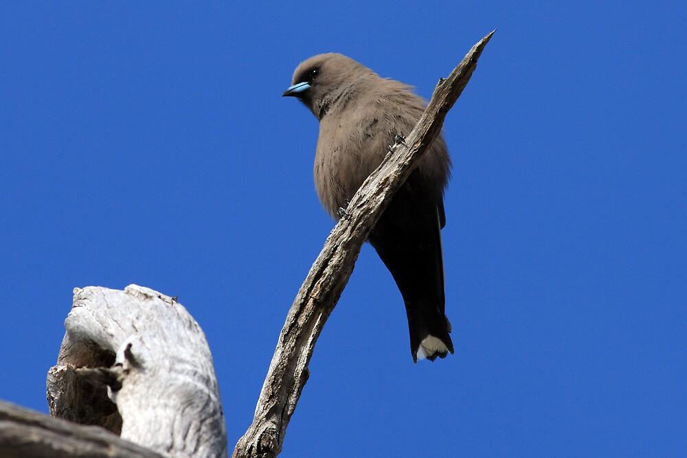 Dusky Woodswallow by David Jamrozik