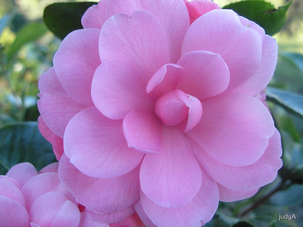 pink camelia by judyA