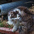 fluffy farm cat by Istvan Hernadi