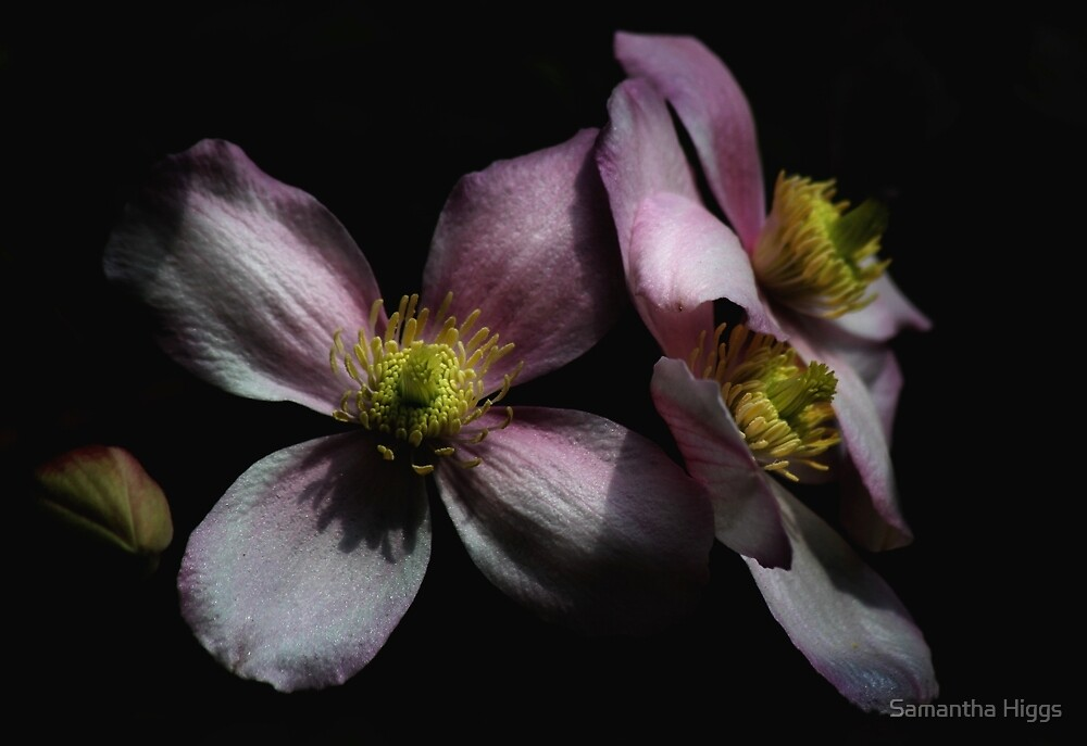 Clematis by Samantha Higgs
