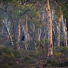 dryandra woodland - western australia by col hellmuth