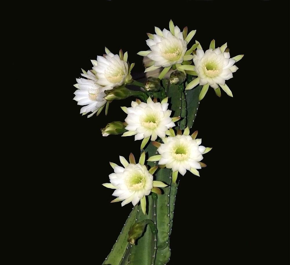Night Blooming Cactus - cereus by Cayobo