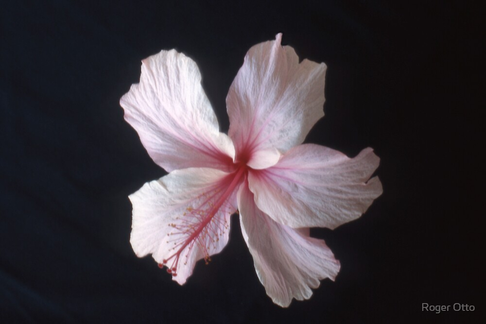 Hibiscus by Roger Otto