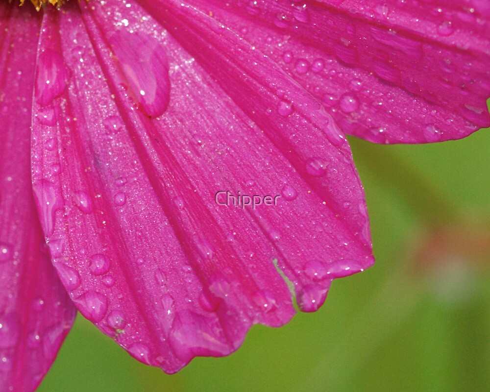Cosmos Dew by Chipper