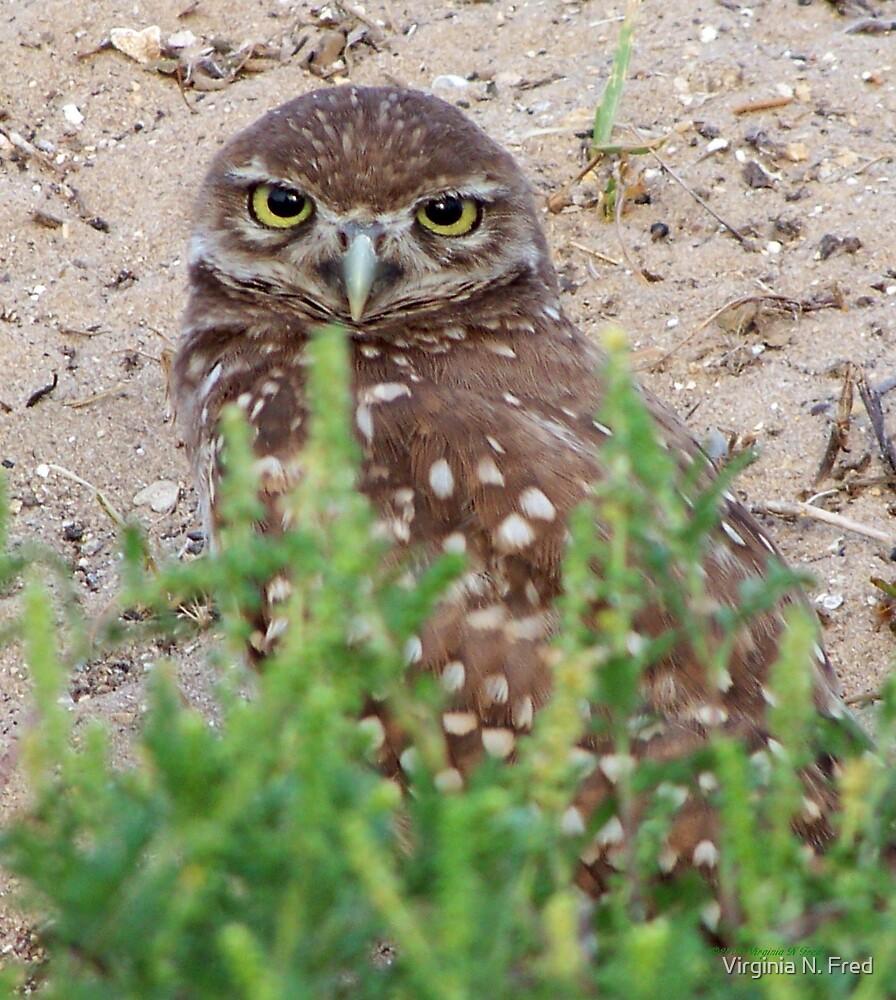 Burrowing Owl #6 by Virginia N. Fred