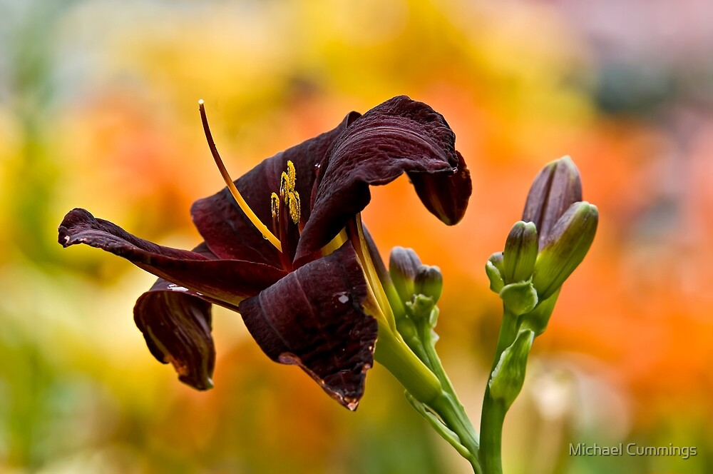 """""""Root Beer"""" Daylily by Michael Cummings"""