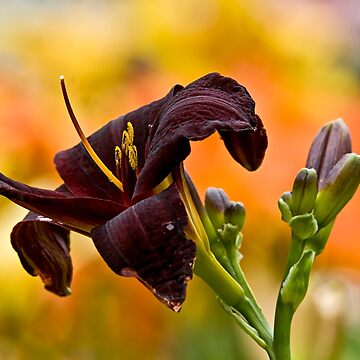 """Root Beer"" Daylily by jaydee1400"